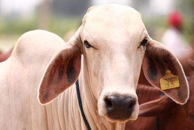 Indian Cow Breed Improvement
